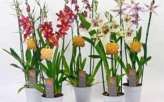 Орхидея буррагеара