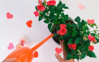 Розы подкормка и уход
