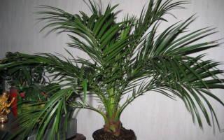 Земля для комнатной пальмы