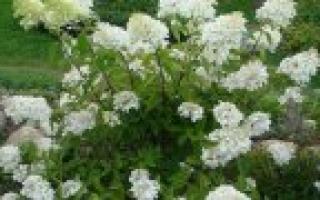 Гортензия метельчатая pinky winky