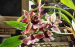 Орхидея зигопеталум уход в домашних условиях