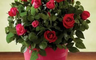 Пересадка розы комнатной