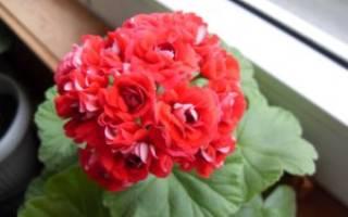 Пеларгония ambrose