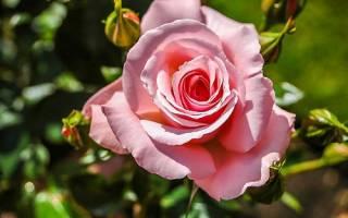 Почему не цветут плетистые розы