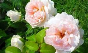 Плетистая роза не цветет что делать