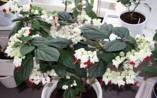 Цветок клеродендрум томпсона
