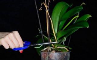 Как заставить орхидею выпустить цветонос