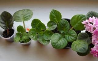 Выращивание фиалки из листа в домашних условиях