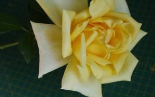 Розы форма листьев