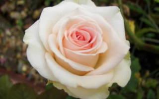 Что обозначает роза