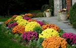 Хризантемы сиреневые