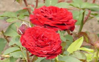 Бордюрные розы посадка и уход