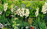 Когда цветет юкка садовая