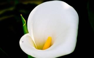 Цветок калла значение