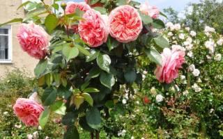 Как прививают розы