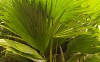Домашний цветок похожий на пальму