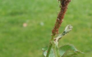 На розах зеленые мошки что делать