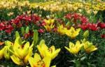 Лилия выращивание и уход в открытом грунте