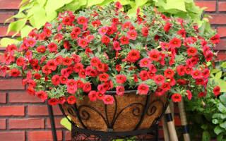 Цветы похожие на петунию