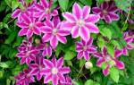 Цветы клематисы посадка и уход