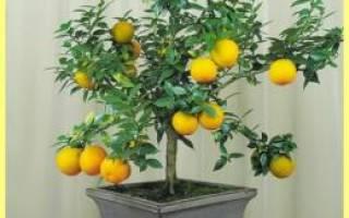 У лимона желтеют листья что делать