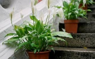 Спатифиллум цветок уход в домашних условиях