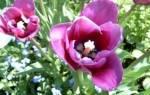 Когда выкапывать и сажать тюльпаны